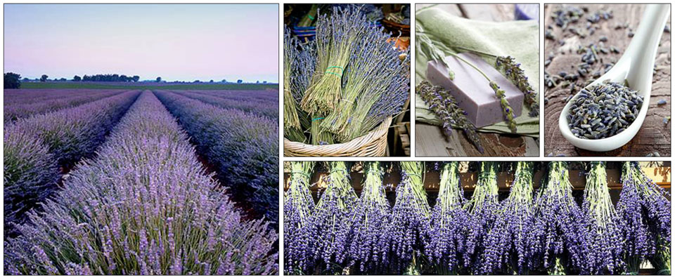 Fragrant Isle Lavender Fields, Door County, Washington Island, Wisconsin